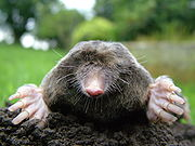 180px-Close-up_of_mole