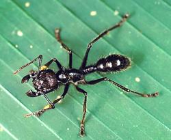 250px-Paraponera